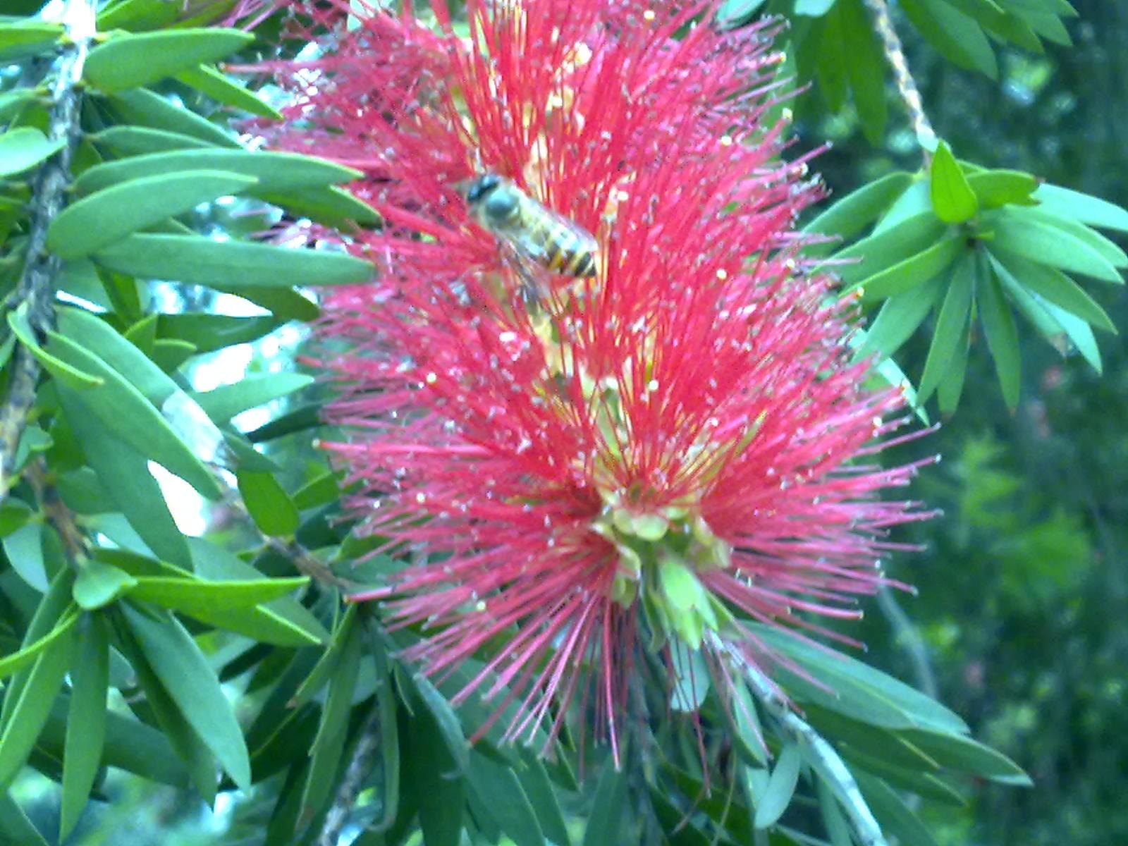 Foto Spesies Pohon Minyak Kayu Putih Bunga Merah