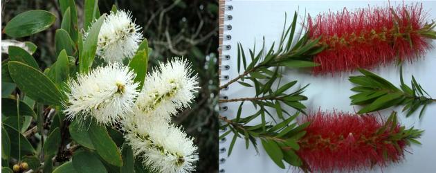 foto-perbandingan-bunga-minyak-kayu-putih-spesies-merah-dan-putih
