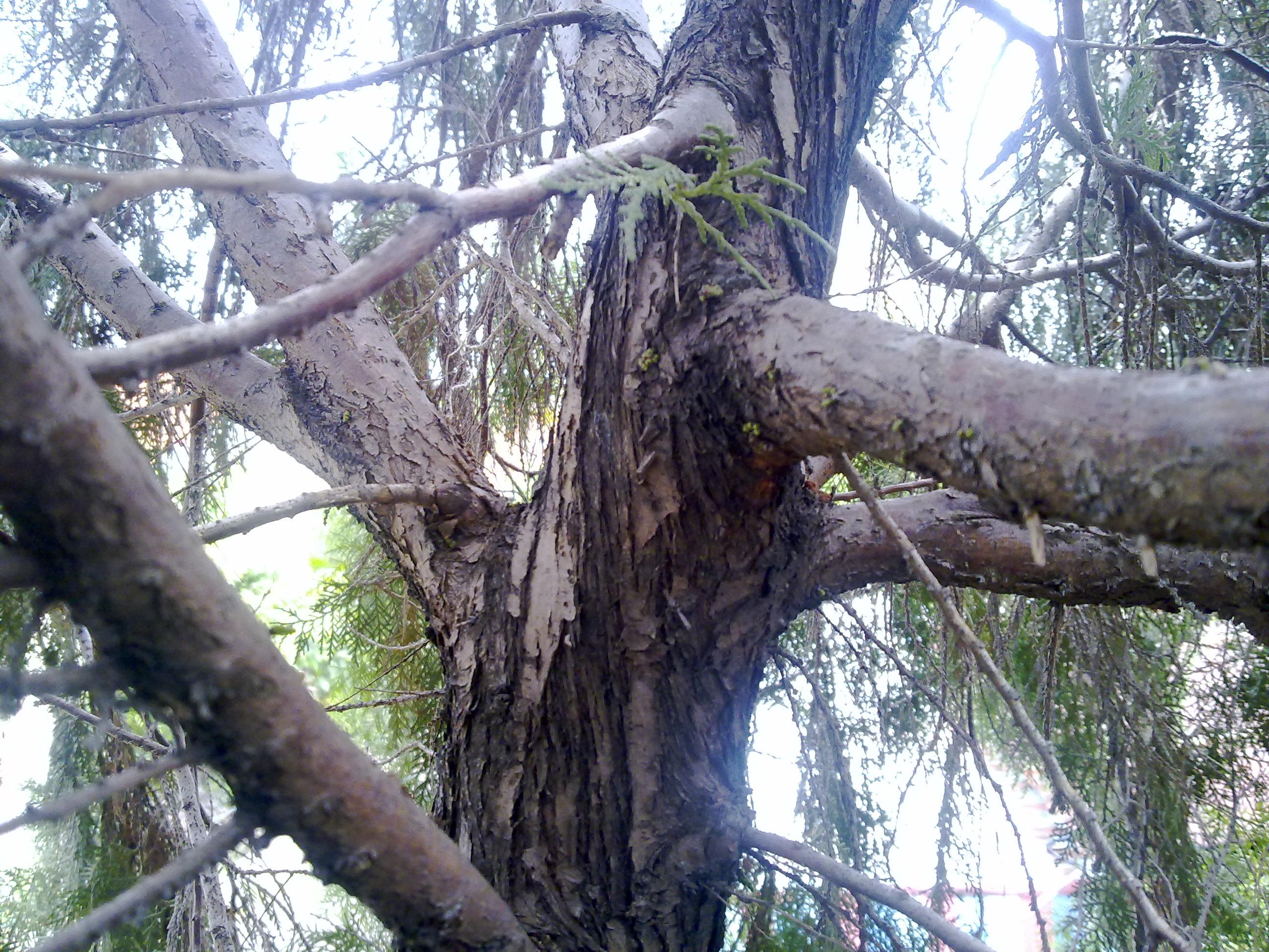 Beginilah rasanya di atas Pohon Cemara – Foto Gambar Pohon Cemara