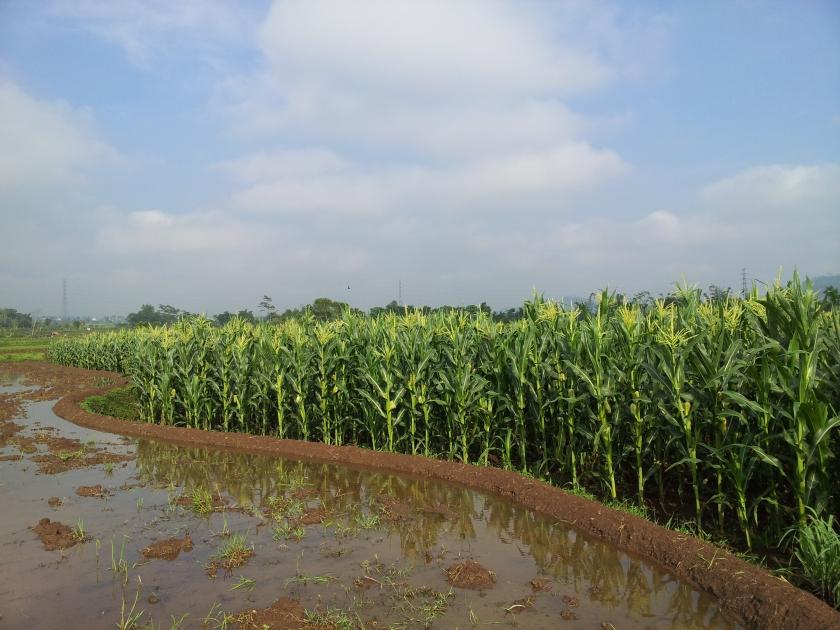 ahsanfile-corn-silage-temanggung