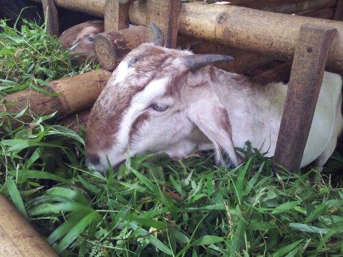 Hasil gambar untuk kambing makan rumput