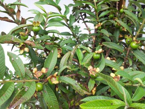 jambu biji bonsai tanaman hias dengan buah yang enak