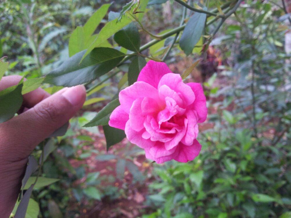 Sekuntum Bunga Mawar – Untuk mengungkapkan rasacinta