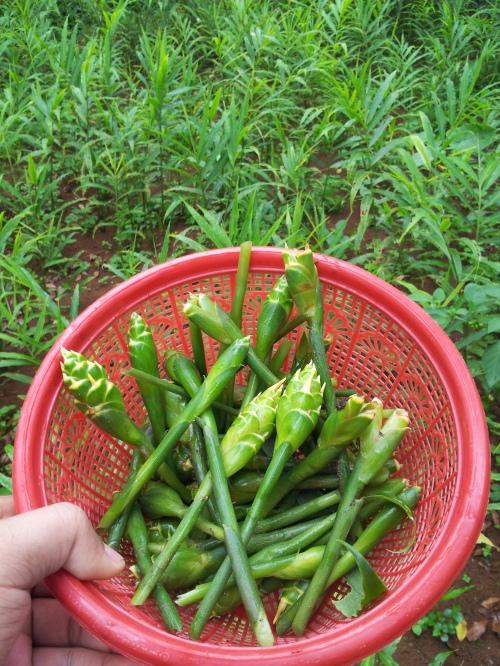 ahsanfile bunga jahe untuk sambal