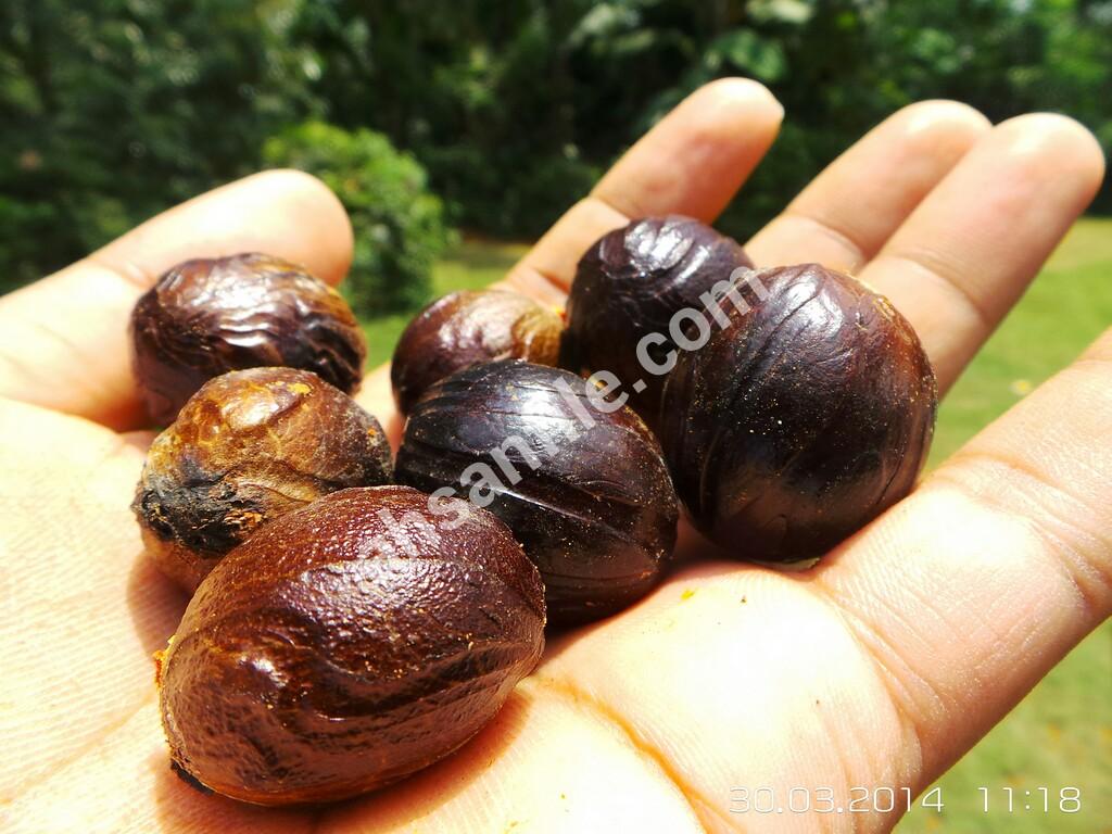 Bisnis  budidaya rempah pala, satu biji harga sampai 1.000 rupiah!