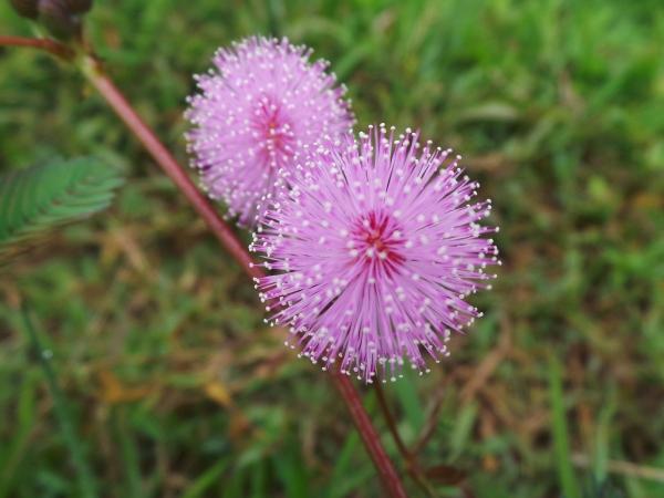 foto bunga putri malu ahsanfile-a
