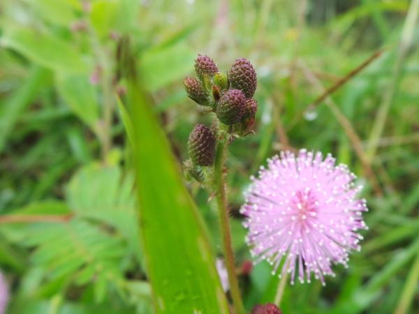 foto bunga putri malu ahsanfile-c