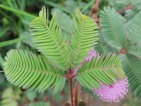 foto bunga putri malu ahsanfile-d