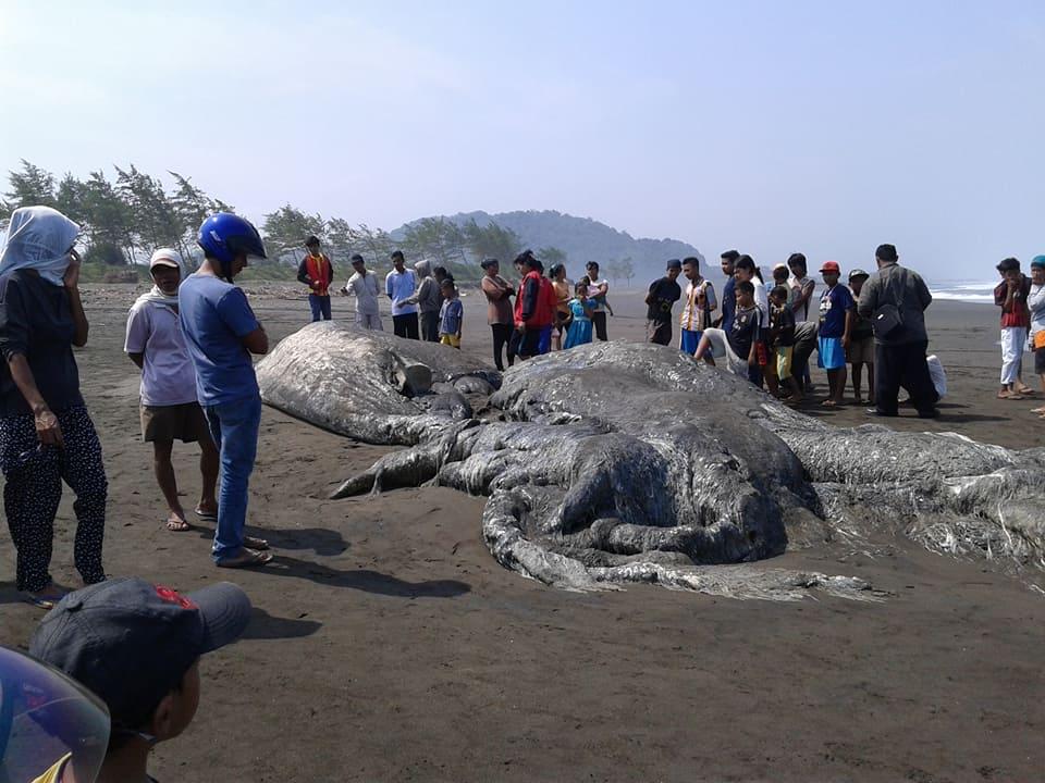 Heboh, Ikan paus terdampar di pantai bunton adipala ternyata bluewhale